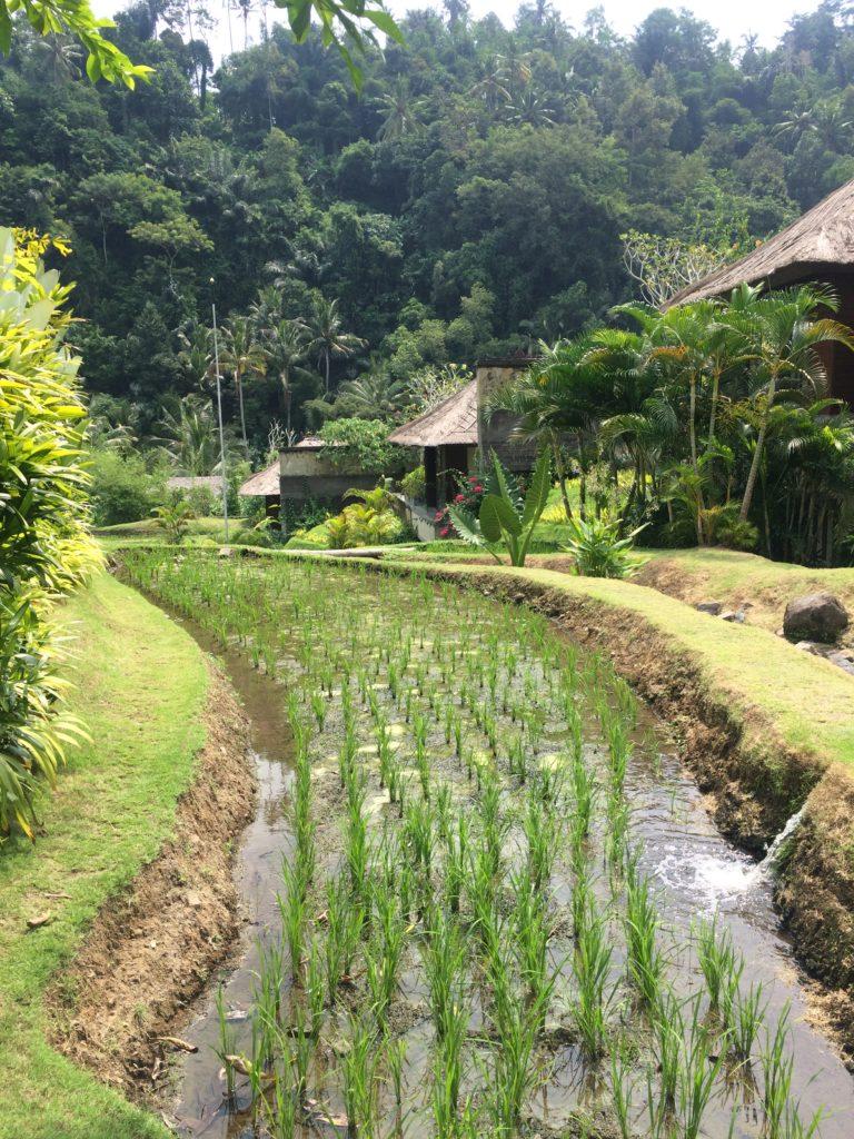 rice terraces at Mandapa, a Ritz Carlton Reserve